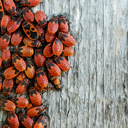 swarm: Colony of red bugs on a wooden board