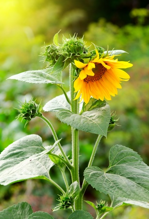 Photography of beauty sunflower in evening sunkight photo