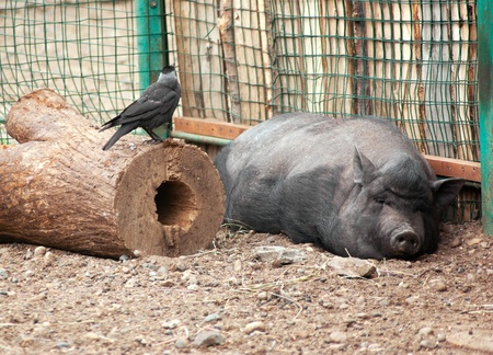 The big sleeping swine and black raven photo