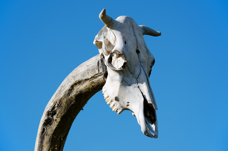 cow skull: Old skull of cow on wooden post
