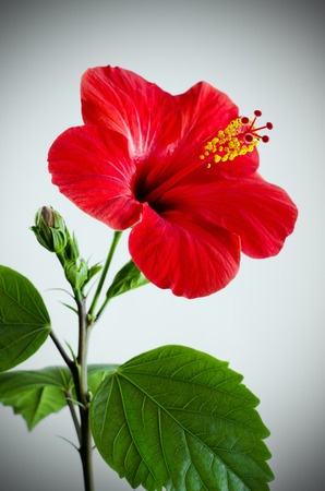 Hibiscus red flower on a gray background