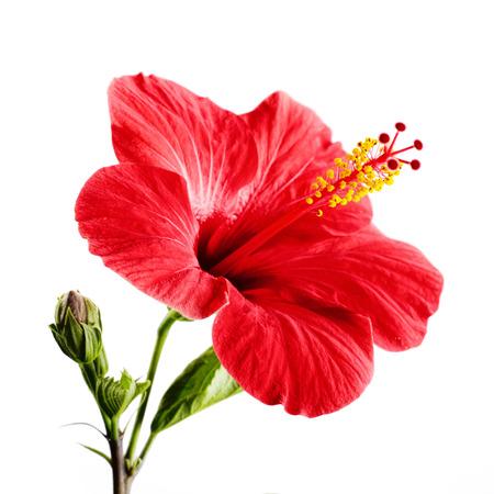 分離した白い背景の上の赤いハイビスカスの花