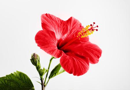 Hibiscus fleur rouge sur un fond gris Banque d'images