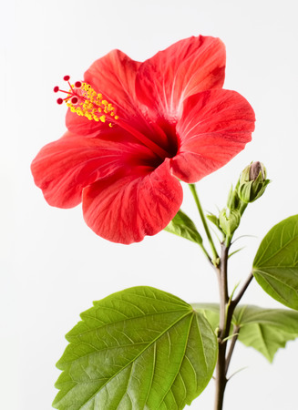 yellow stamens: Hibiscus red flower on a gray background