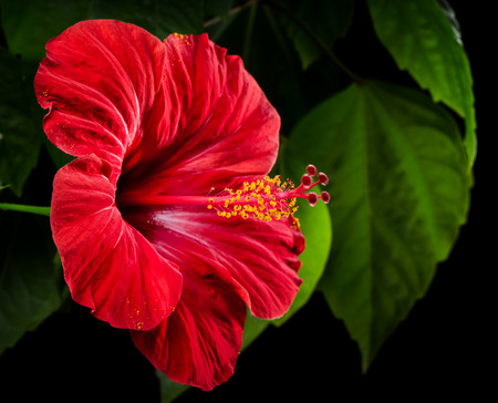 Hibiscus red flower on a black background