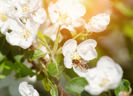 Honey bee on a blooming apple flower.
