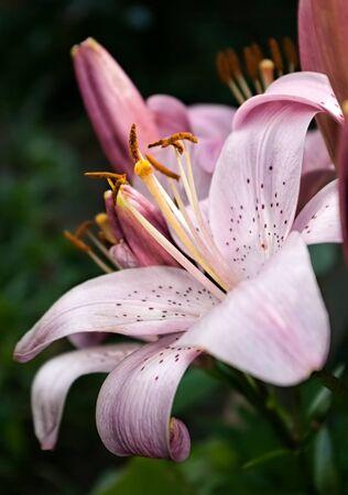 Pink lily flower closeup in garden