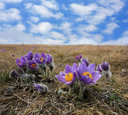 nice bush of spring pasqueflower Stock Photo - 8438916