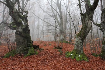 big oaks in misty forest