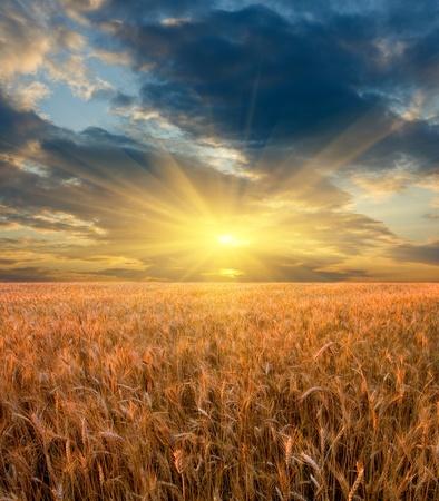 cosecha de trigo: Sunset escena en campo de cereales