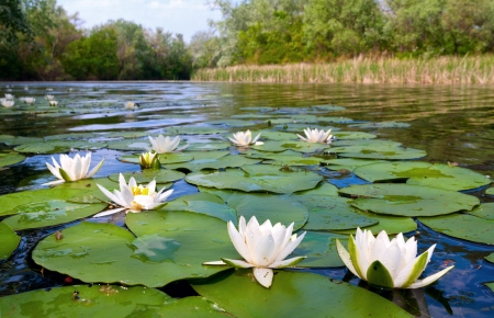 rietkraag: water lilys op vijver
