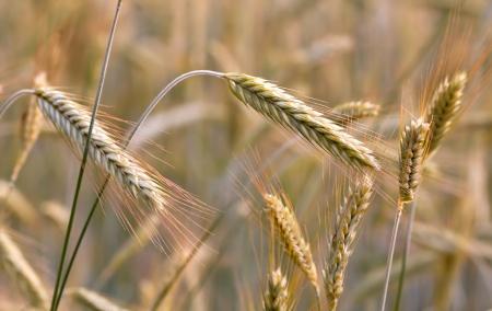 ear of rye in field Stock Photo - 13750929