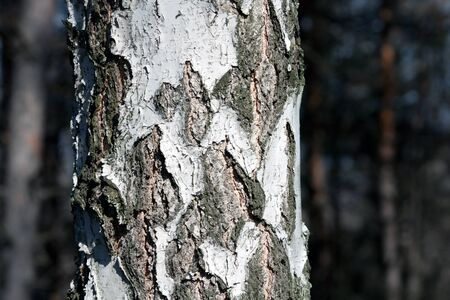 bark: Birch tree trunk in forest