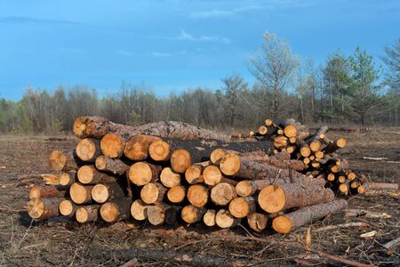 firewood store on forest  clearing photo