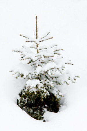 small fir tree in snow photo
