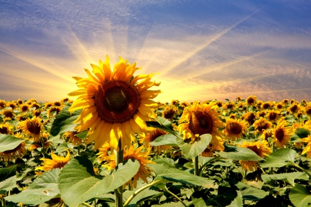 sunflower field on sunset sky background photo