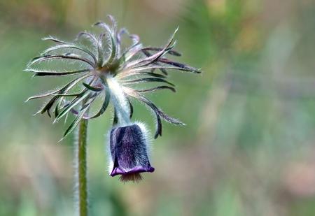 pulsatilla: nice pascue flower - macro shoot Stock Photo