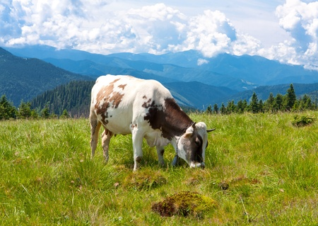 Cow on nice meadow in mountains photo