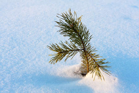 pine sprout on winter field Stock Photo - 13762680
