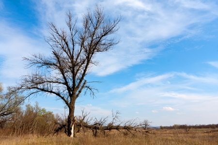 old leafless tree on meadow in nice day photo