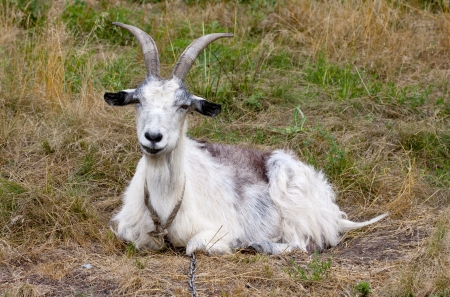 funny goat on meadow pasture Stock Photo