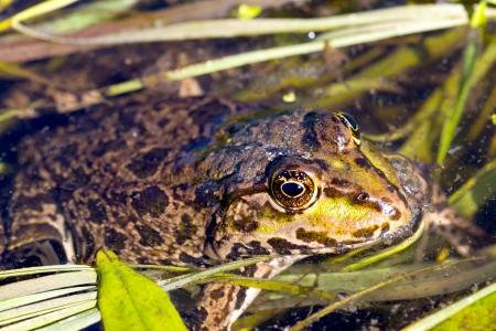 frog float in water - macro shoot photo