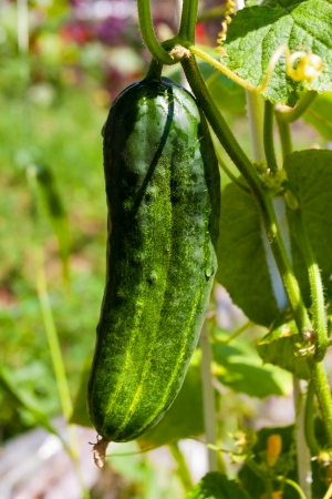 fresh cucumber on vegetable garden photo