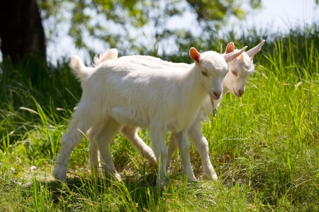 Nice she-goats on pasture in summer time