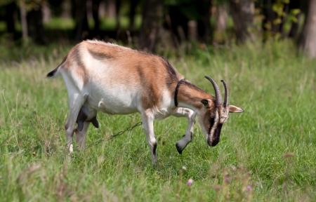 Fanny she-goats on pasture photo