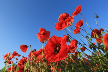 Nice poppys on field against blue sky background photo