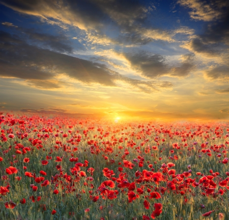 Poppy filed on sunset sky background