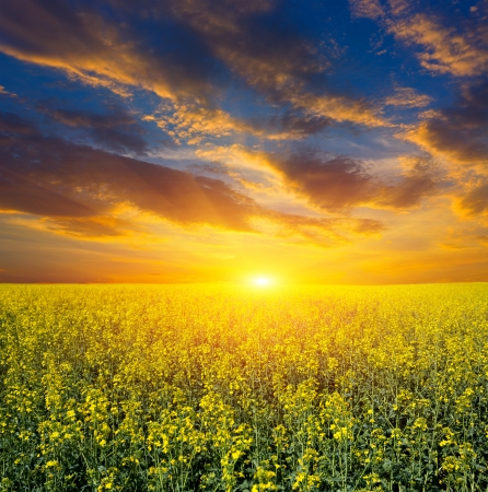 Nice sunset over rape field