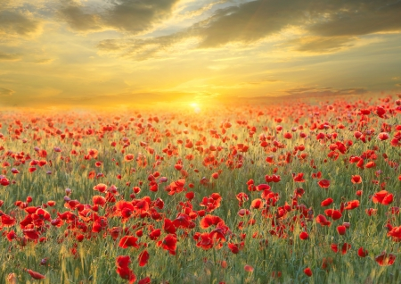 red poppies on green field: Poppy filed on sunset sky background