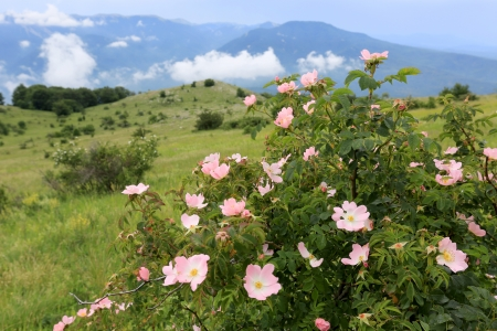 nice dog rose bush in mountains photo