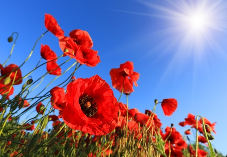 nice poppy field in summer day photo