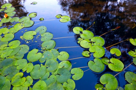 Waterplant leafs on water surface  Stock Photo