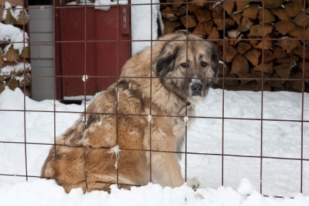 big dog behind grating in winter time photo
