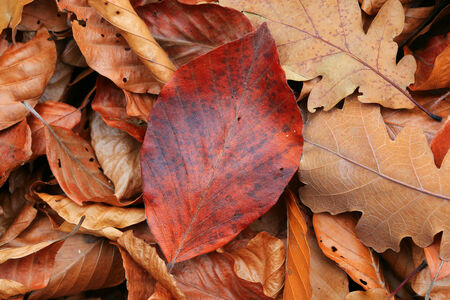 leafage: Dry autumn leafage - abstract natural background Stock Photo