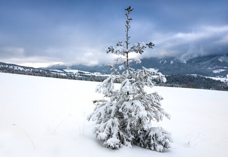 alone pine tree on meadow in winter mountains photo