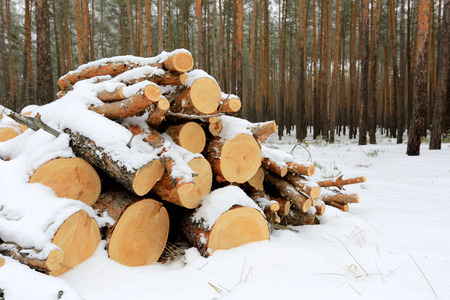 pine logs under snow in forest photo