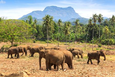yala: Elephants in park Pinawella. Sri Lanka