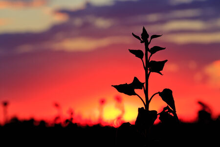 plants silhouette on sunset background photo