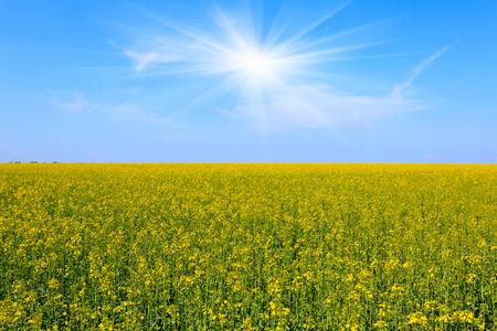 Yellow field under blue sky photo