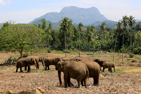 Elephants in park Pinawella. Sri Lanka photo