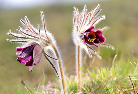 two pasque flowers in spring time photo