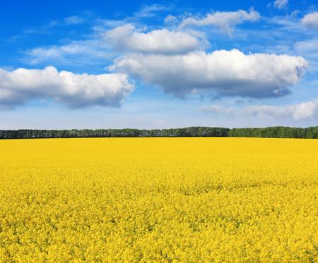 Nice rape field under blue sky photo