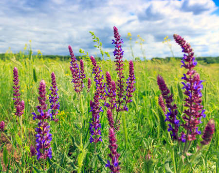 wild flowers in summer steppe photo