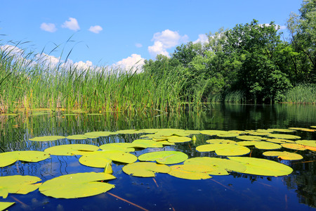 big leafs: big leafs of water lily on lake surface