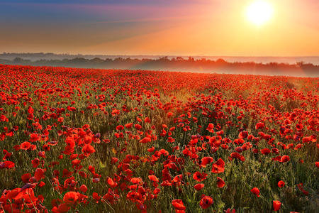 Nice sunset over poppy field   Stock Photo