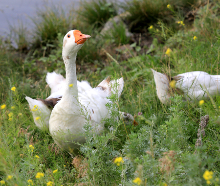 goose in grass on rural pasture